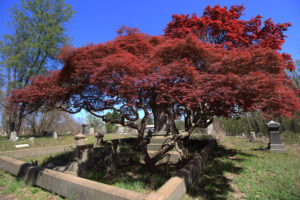 Japanese maple tree in front of a monument at Mount Moriah Cemetery