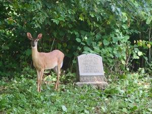 Deer standing near a headstone at Mount Moriah Cemetery in Philadelphia, Pennsylvania